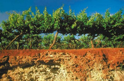 Coonawarra red soil