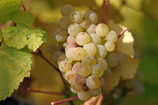 mature-riesling-grapes