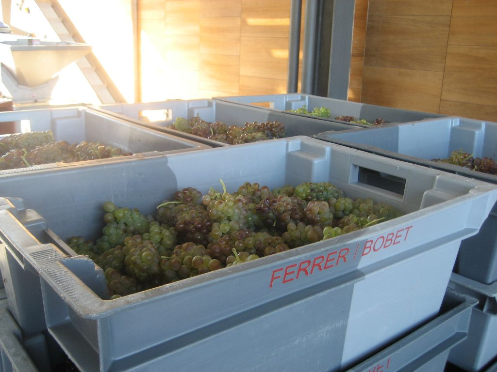 freshly picked viognier grapes