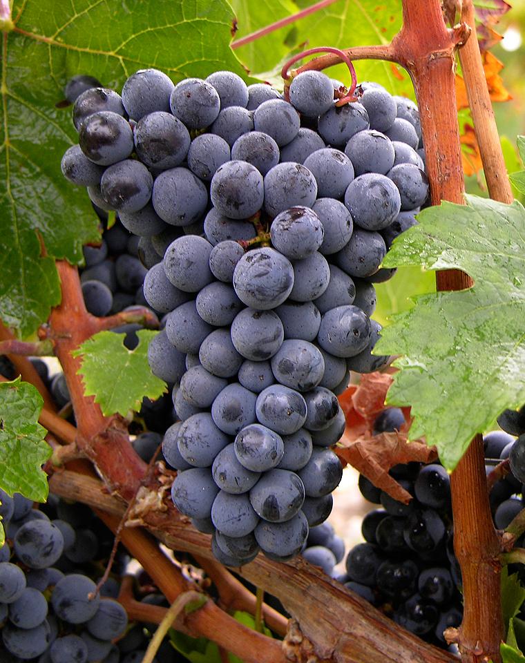a bunch of ripe cabernet franc grapes