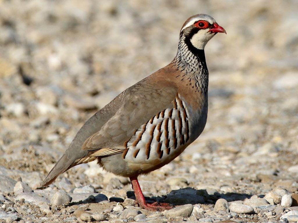 red-leg-partridge